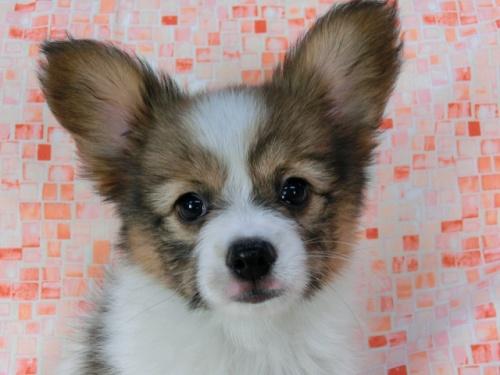 パピヨンの子犬(ID:1244711575)の2枚目の写真/更新日:2017-11-22