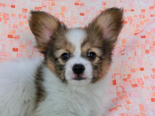 パピヨンの子犬(ID:1244711575)の3枚目の写真/更新日:2017-11-22