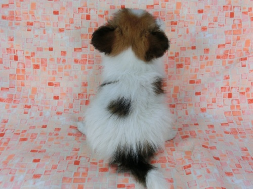 パピヨンの子犬(ID:1244711575)の4枚目の写真/更新日:2017-11-22