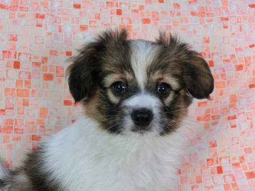 パピヨンの子犬(ID:1244711576)の3枚目の写真/更新日:2017-11-22