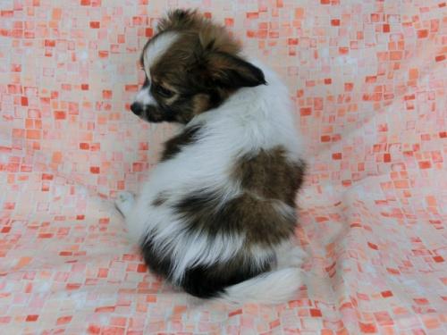 パピヨンの子犬(ID:1244711576)の4枚目の写真/更新日:2017-11-22