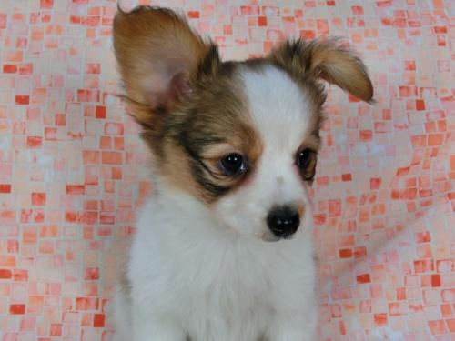 パピヨンの子犬(ID:1244711577)の1枚目の写真/更新日:2017-11-22