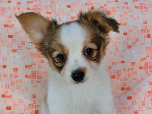 パピヨンの子犬(ID:1244711577)の2枚目の写真/更新日:2017-11-22