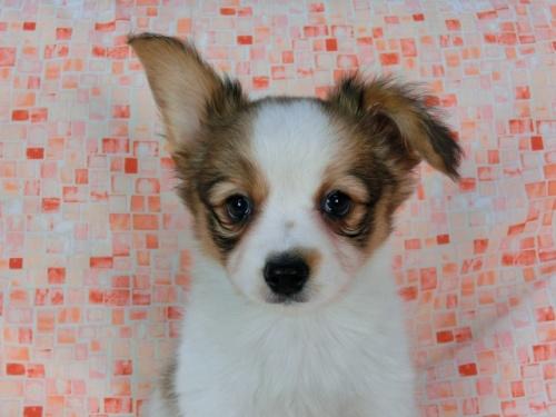 パピヨンの子犬(ID:1244711577)の3枚目の写真/更新日:2017-11-22