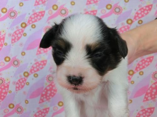 パピヨンの子犬(ID:1244711578)の1枚目の写真/更新日:2017-10-21