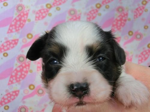 パピヨンの子犬(ID:1244711578)の3枚目の写真/更新日:2017-10-21