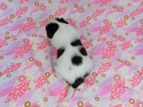パピヨンの子犬(ID:1244711578)の4枚目の写真/更新日:2017-10-21