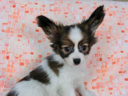 パピヨンの子犬(ID:1244711579)の1枚目の写真/更新日:2017-11-22
