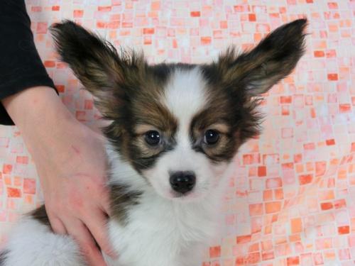 パピヨンの子犬(ID:1244711579)の2枚目の写真/更新日:2017-11-22