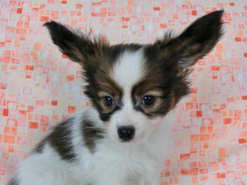 パピヨンの子犬(ID:1244711579)の3枚目の写真/更新日:2017-11-22