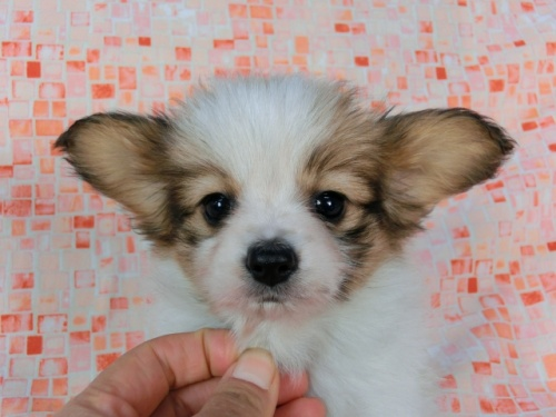 パピヨンの子犬(ID:1244711580)の1枚目の写真/更新日:2017-11-22