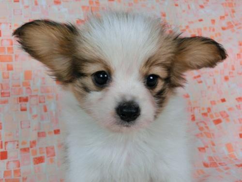 パピヨンの子犬(ID:1244711580)の3枚目の写真/更新日:2017-11-22