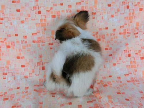 パピヨンの子犬(ID:1244711580)の4枚目の写真/更新日:2017-11-22