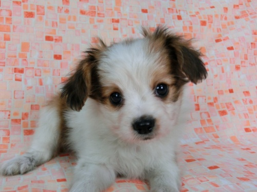 パピヨンの子犬(ID:1244711581)の1枚目の写真/更新日:2017-11-22