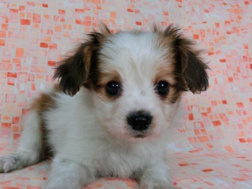 パピヨンの子犬(ID:1244711581)の2枚目の写真/更新日:2017-11-22
