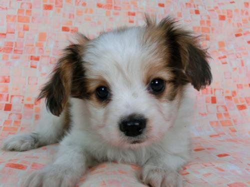 パピヨンの子犬(ID:1244711581)の3枚目の写真/更新日:2017-11-22
