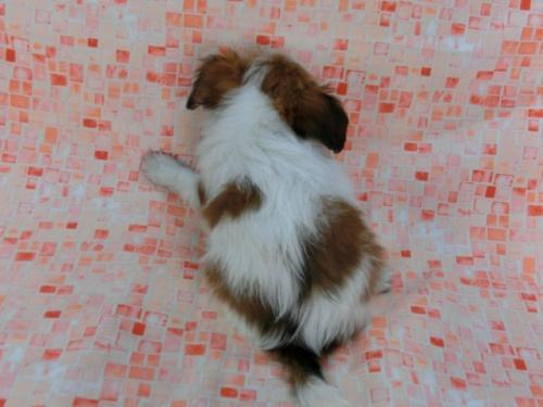 パピヨンの子犬(ID:1244711581)の4枚目の写真/更新日:2017-11-22