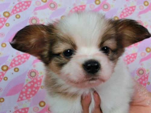 パピヨンの子犬(ID:1244711582)の1枚目の写真/更新日:2017-11-11
