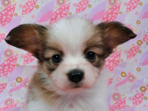 パピヨンの子犬(ID:1244711582)の2枚目の写真/更新日:2017-11-11