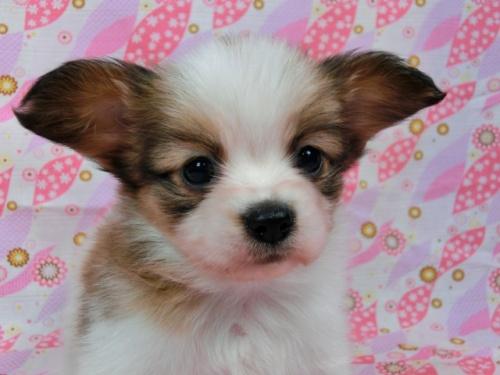 パピヨンの子犬(ID:1244711582)の3枚目の写真/更新日:2017-11-11