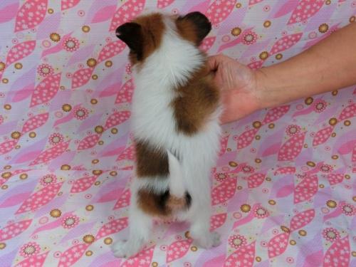パピヨンの子犬(ID:1244711582)の4枚目の写真/更新日:2017-11-11