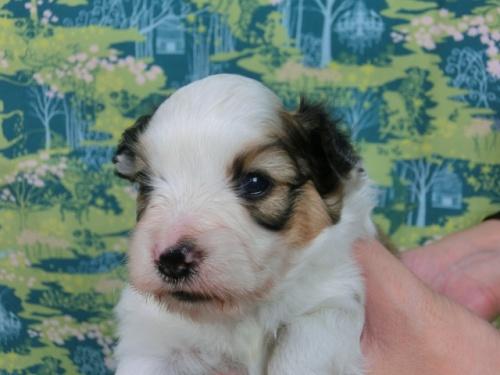 パピヨンの子犬(ID:1244711583)の2枚目の写真/更新日:2017-11-01