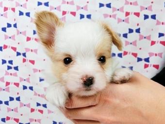 パピヨンの子犬(ID:1244711584)の1枚目の写真/更新日:2017-11-22