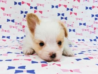 パピヨンの子犬(ID:1244711584)の2枚目の写真/更新日:2017-11-22