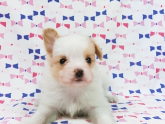 パピヨンの子犬(ID:1244711584)の3枚目の写真/更新日:2017-11-22
