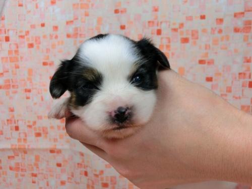 パピヨンの子犬(ID:1244711585)の1枚目の写真/更新日:2017-11-01