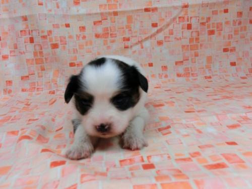 パピヨンの子犬(ID:1244711585)の2枚目の写真/更新日:2017-11-01