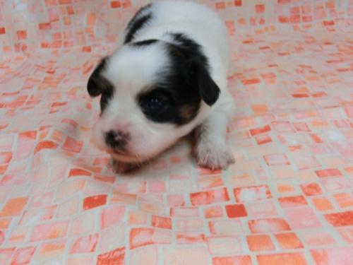 パピヨンの子犬(ID:1244711585)の3枚目の写真/更新日:2017-11-01
