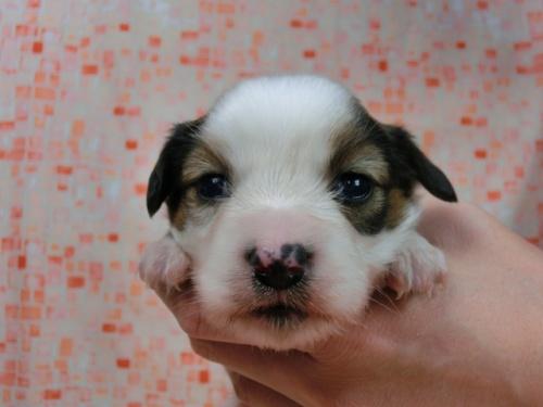 パピヨンの子犬(ID:1244711586)の1枚目の写真/更新日:2017-11-01