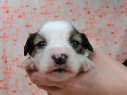 パピヨンの子犬(ID:1244711586)の2枚目の写真/更新日:2017-11-01