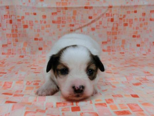 パピヨンの子犬(ID:1244711586)の3枚目の写真/更新日:2017-11-01