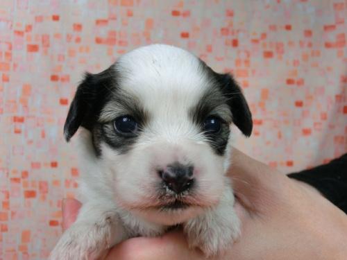 パピヨンの子犬(ID:1244711587)の1枚目の写真/更新日:2017-11-01