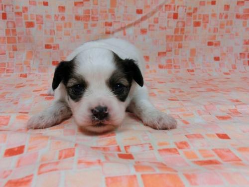 パピヨンの子犬(ID:1244711587)の2枚目の写真/更新日:2017-11-01