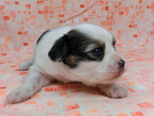 パピヨンの子犬(ID:1244711587)の3枚目の写真/更新日:2017-11-01