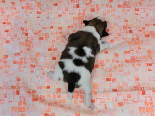 パピヨンの子犬(ID:1244711588)の4枚目の写真/更新日:2017-11-01