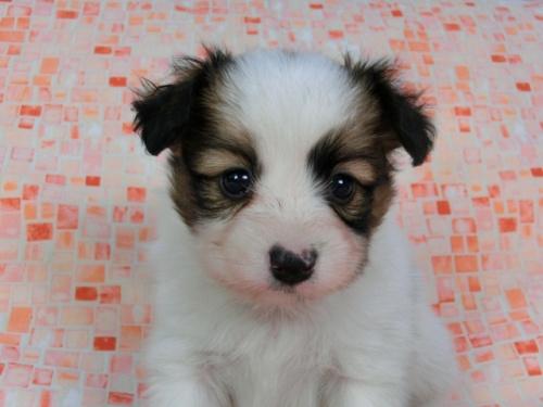 パピヨンの子犬(ID:1244711589)の1枚目の写真/更新日:2017-11-22
