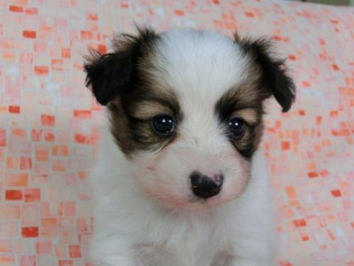 パピヨンの子犬(ID:1244711589)の2枚目の写真/更新日:2017-11-22