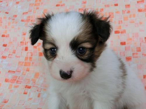 パピヨンの子犬(ID:1244711589)の3枚目の写真/更新日:2017-11-22