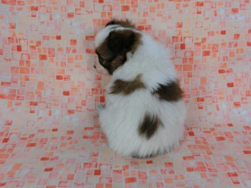 パピヨンの子犬(ID:1244711589)の4枚目の写真/更新日:2017-11-22
