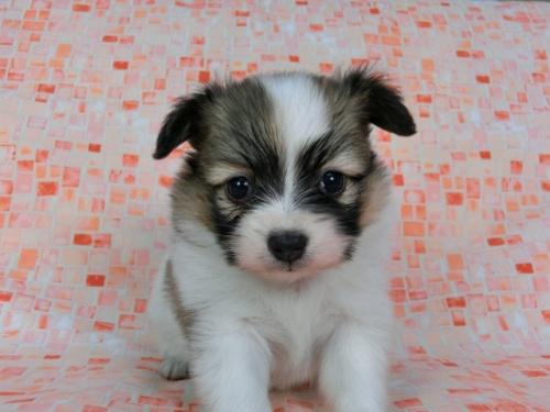 パピヨンの子犬(ID:1244711590)の1枚目の写真/更新日:2017-11-22