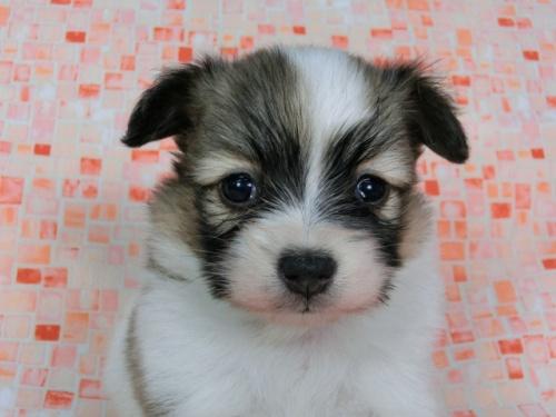 パピヨンの子犬(ID:1244711590)の2枚目の写真/更新日:2017-11-22