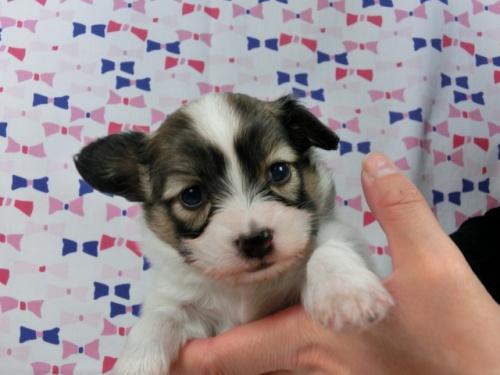 パピヨンの子犬(ID:1244711591)の2枚目の写真/更新日:2017-11-16