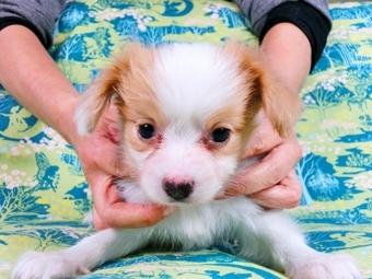 パピヨンの子犬(ID:1244711592)の1枚目の写真/更新日:2017-11-27