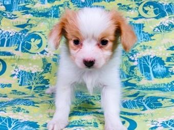 パピヨンの子犬(ID:1244711592)の3枚目の写真/更新日:2017-11-27