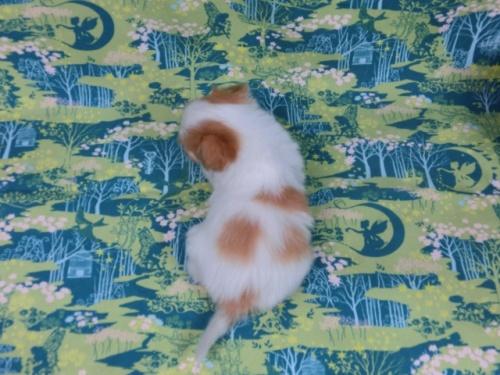 パピヨンの子犬(ID:1244711592)の4枚目の写真/更新日:2017-11-27