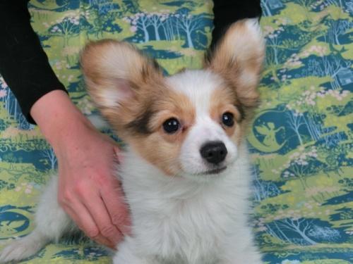 パピヨンの子犬(ID:1244711593)の3枚目の写真/更新日:2017-11-27